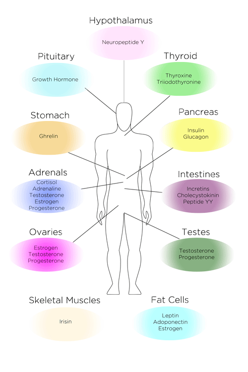 Hormones and Endocrine Organs